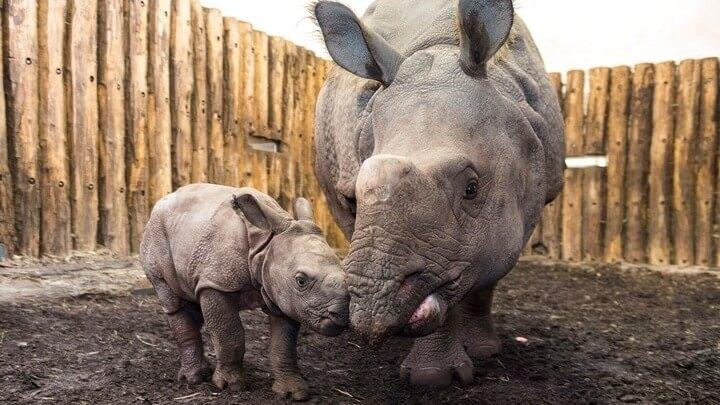 Τσαντ: Πέθαναν οι τέσσερις από τους έξι υπό διάσωση μαύρους ρινόκερους